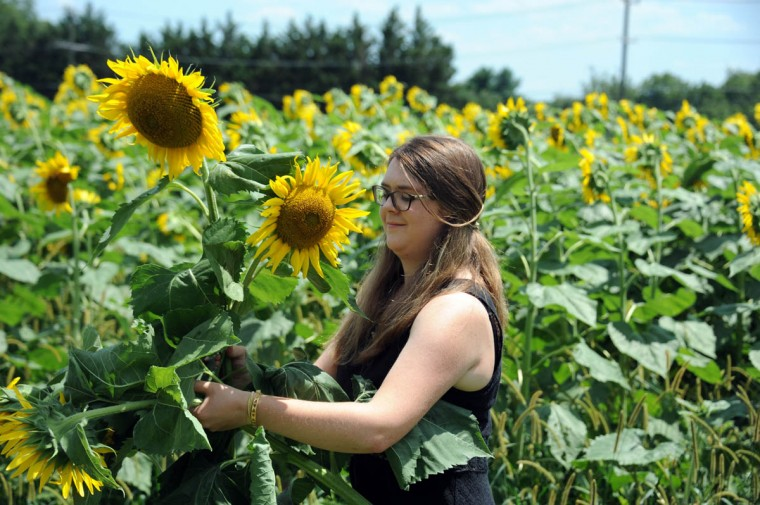 Shaelyn Rhinehart, 19, Reisterstown, cuts a sunflower in the Maryland Agricutural Resource Council (MARC) field. People are invited to pick their own from among 40 thousand sunflowers at $1.00 per stem or $10 per dozen. The money raised benefits MARC. (Kim Hairston/Baltimore Sun)