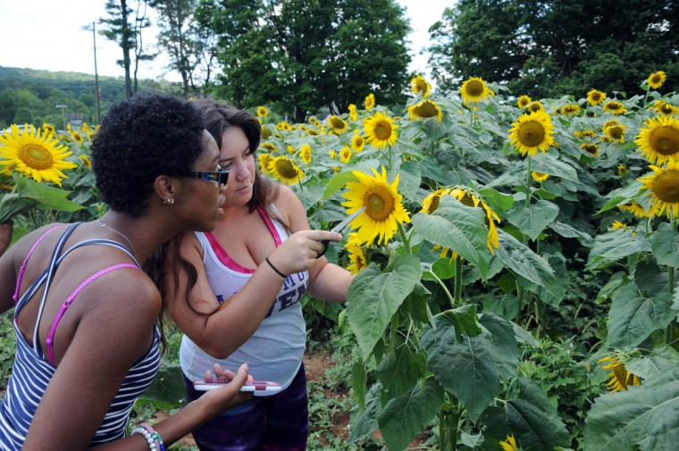 From left, Monique Barnes, 22, Perry Hall, and Kendall Rivenbark, 23, Hampstead, counselors with Charm City Karate, pick sunflowers from among 40 thousand in the Maryland Agricutural Resource Council (MARC) field. People are invited to pick their own sunflowers at $1.00 per stem or $10 per dozen. The money raised benefits MARC. (Kim Hairston/Baltimore Sun)