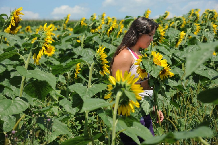 Kendall Rivenbark, 23, Hampstead, a counselor with Charm City Karate, picks sunflowers from among 40 thousand in the Maryland Agricutural Resource Council (MARC) field. People are invited to pick their own sunflowers at $1.00 per stem or $10 per dozen. The money raised benefits MARC. (Kim Hairston/Baltimore Sun)