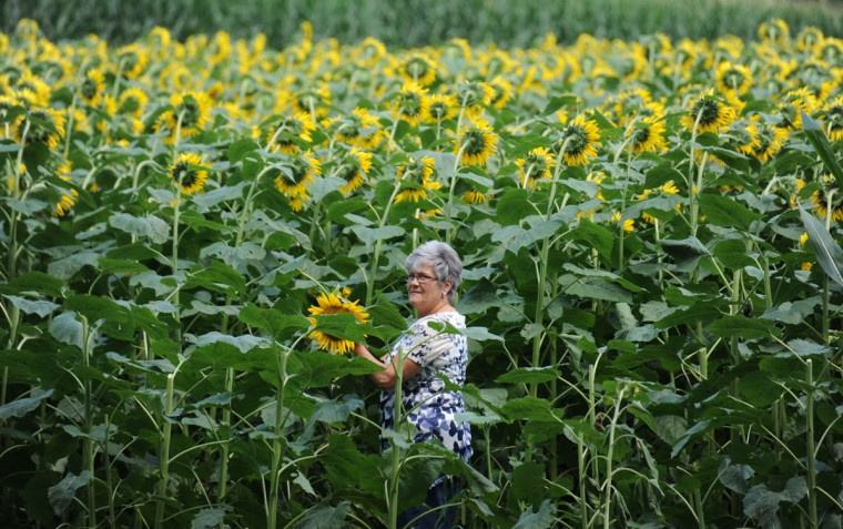 Robbin Miller, Manchester, picks sunflower from the Maryland Agricutural Resource Council (MARC) field. People are invited to pick their own from among 40 thousand sunflowers at $1.00 per stem or $10 per dozen. The money raised benefits MARC. (Kim Hairston/Baltimore Sun)