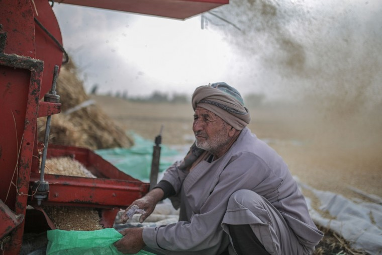 In this Thursday, May 14, 2015 photo, a farmer pauses while collecting wheat seeds during harvest, in his farm in a village in the Nile Delta town of Behira, 300 kilometers (186 miles) north of Cairo, Egypt. Most Egyptians have always lived in the fertile stretch along the Nile, which accounts for less than 10 percent of the countryís territory, and which is also the nationís breadbasket. (AP Photo/Mosa'ab Elshamy)
