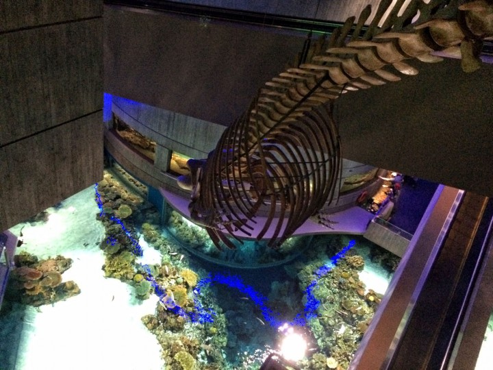 View from the top. Did you know this fin whale skeleton inside the Aquarium is a juvenile whale? AKA whales are huge.