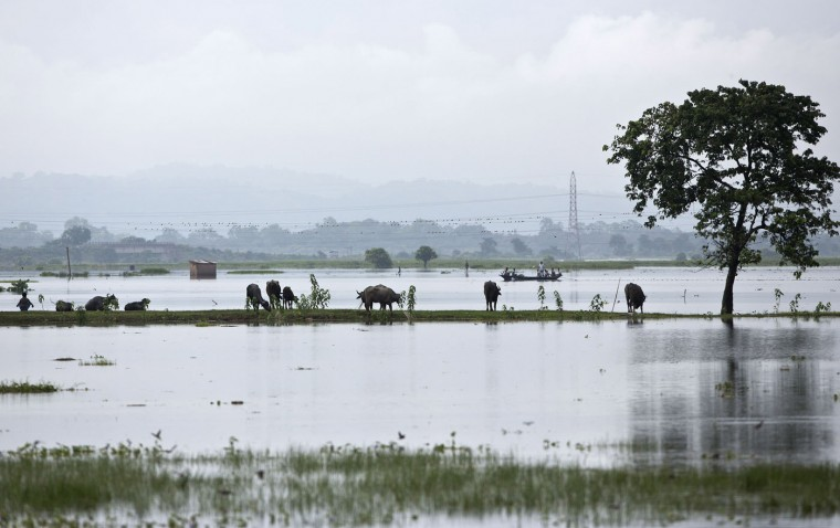 Surrounded of floods, buffalos graze in Mayong village, about 50 kilometers (31 miles) east of Gauhati, India, Sunday, Aug. 23, 2015. The flooding in India's northeastern Assam state is the worst in the past three years, affecting nearly 600,000 people in 19 of the state's 27 districts, officials said. (AP Photo/Anupam Nath)