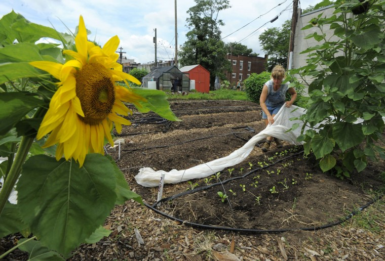 Alison Worman, manager of the Whitelock Community Farm, which was established in 2010, covers up some of the organic plants to keep the bugs from getting to them on July 15, 2015. Tour of Reservoir Hill and the projects that are underway there. (Lloyd Fox/Baltimore Sun)