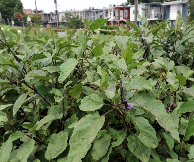 Eggplant grows at the Whitelock Community Farm in Reservoir Hill. (Algerina Perna / 2012 Baltimore Sun photo)