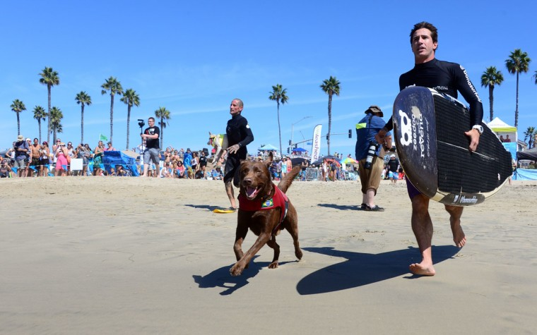 Participants begin their race with a jog to the water as dogs, big and small, and some in tandem or with their owner, participate in the 7th annual Surf City Surf Dog contest in Huntington Beach, Calif., on Sept. 27, 2015. (FREDERIC J. BROWN/AFP/Getty Images)