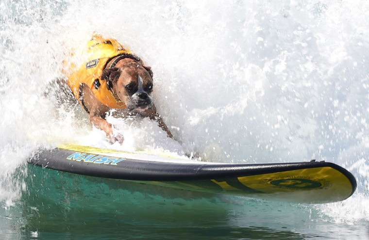 Dogs, big and small, and some in tandem or with their owner, participate in the 7th annual Surf City Surf Dog contest in Huntington Beach, Calif., on Sept. 27, 2015. (FREDERIC J. BROWN/AFP/Getty Images)