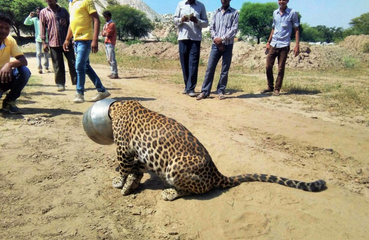 People stand around a leopard with its head stuck in a vessel in Rajsamand district of Rajasthan state, India, Wednesday, Sept. 30, 2015. The leopardís head got stuck when it attempted to drink water from the pot, according to news reports. Forest officials tranquilized the animal and sawed off the vessel later in the day. (AP Photo/Kabir Jethi)