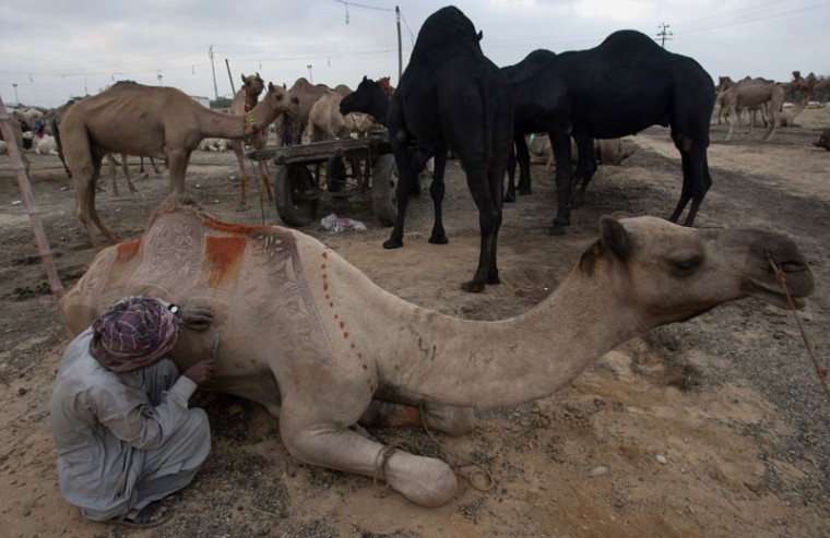 A Pakistani vendor makes a design on a camel to attract customers at a cattle market set up for the upcoming Muslims' festival Eid-al-Adha, Monday, Sept. 14, 2015, in Karachi, Pakistan. Muslims all over the world celebrate the three-day festival Eid-al-Adha, by sacrificing sheep, goats, and cows to commemorate the willingness of the Prophet Ibrahim (Abraham to Christians and Jews) to sacrifice his son, Ismail, on God's command. (AP Photo/Shakil Adil)