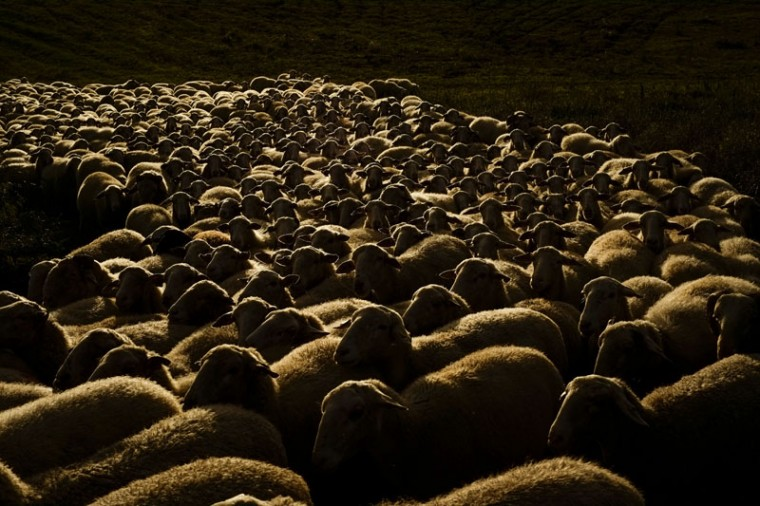 A flock of sheep graze on the land during as the sun sets, in Navaz, near to Pamplona, northern Spain, Wednesday, Sept. 16, 2015. (AP Photo/Alvaro Barrientos)