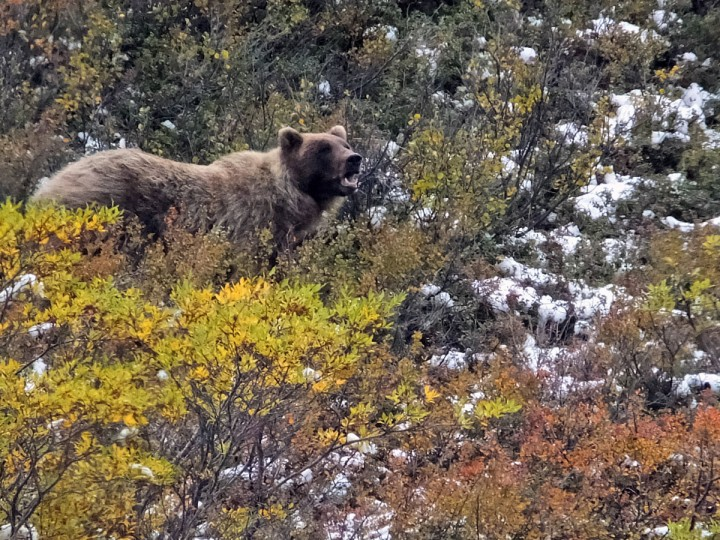 In this Monday, Aug. 31, 2015, file photo, a grizzly bear looks up from foraging, in Denali National Park and Preserve, Alaska. The summer travel season is winding down at Denali National Park and Preserve, a time of year that sees the vast majority of visitors to this largely wild place. (AP Photo/Becky Bohrer, File)