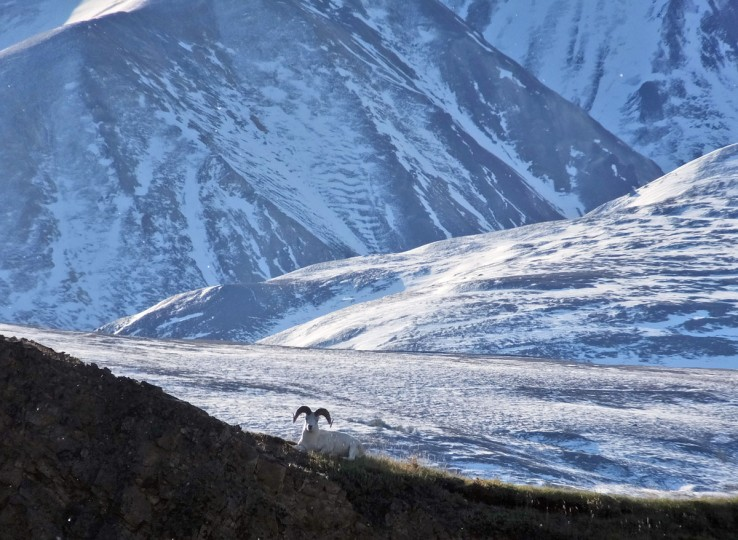 A Dall sheep lounges on a ridge line, Wednesday, Sept. 2, 2015, in Denali National Park and Preserve, Alaska. The park is an adventurer's paradise with few marked trails, inviting backcountry exploration. (AP Photo/Becky Bohrer)