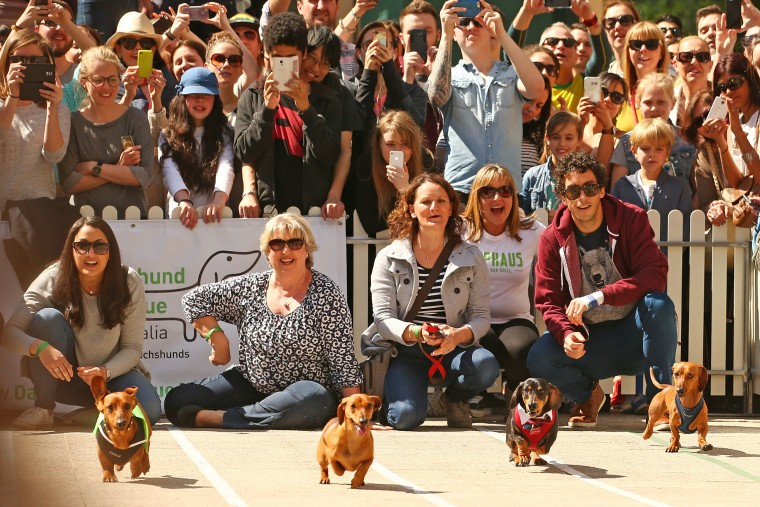A general view as dachshunds compete in the Hophaus Southgate Inaugural Dachshund Running of the Wieners Race on September 19, 2015 in Melbourne, Australia. 30 mini dachshunds, 6 standard dachshunds and 18 dachshund puppies all competed for first place and for Best Dressed Dachshund during the annual Oktoberfest celebration. (Scott Barbour/Getty Images)