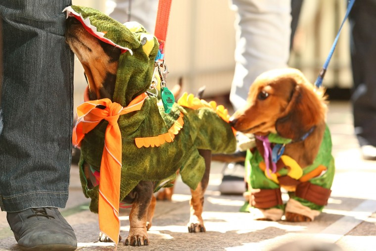 Mini dachshunds compete in the Hophaus Southgate Inaugural Best Dressed Dachshund competition on September 19, 2015 in Melbourne, Australia. 30 mini dachshunds, 6 standard dachshunds and 18 dachshund puppies all competed for first place and for Best Dressed Dachshund during the annual Oktoberfest celebration. (Scott Barbour/Getty Images)