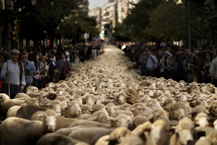 Shepherds lead their sheep through the centre of Madrid, Spain, Sunday, Oct. 25, 2015 Shepherds have guided a flock of 2,000 sheep through Madrid streets in defense of ancient grazing, droving and migration rights increasingly threatened by urban sprawl and modern agricultural practices. Tourists and city-dwellers were surprised to see the capital's traffic cut to permit the ovine parade to bleat bells clanking its way past the city's most emblematic locations. (AP Photo/Daniel Ochoa de Olza)
