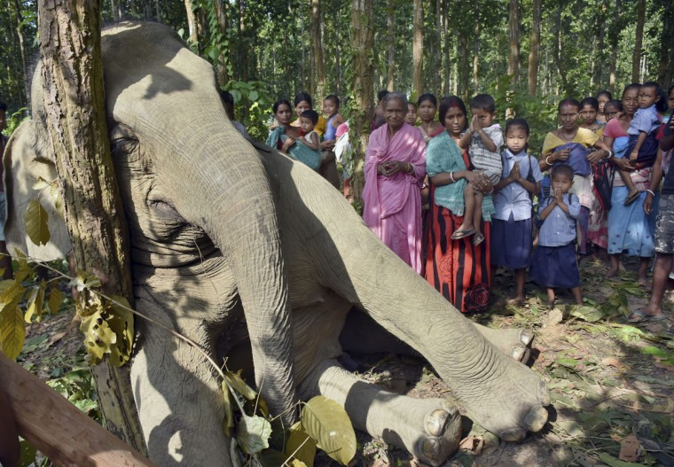 An Indian boy offers prayers as others gather near a dead elephant at Bagulamari, in Goalpara in the eastern Indian state of Assam, Wednesday, Oct. 7, 2015. The wild adult elephant was killed when a tree that he had uprooted to eat fell on an electric tower just past midnight on Tuesday. Locals told the photographer that the rest of the herd of 20-25 elephants tried to help but were scared by the jolts of power and finally had to abandon the pachyderm. (AP Photo/Vishma Thapa)
