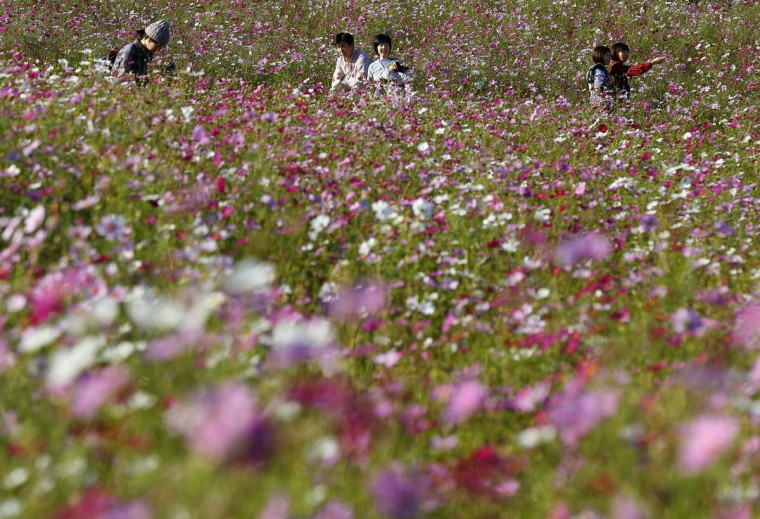 Visitors enjoy strolling through a field of pink and white cosmos in full bloom at Showa Kinen Park in Tokyo Monday, Oct. 26, 2015. (AP Photo/Shizuo Kambayashi)