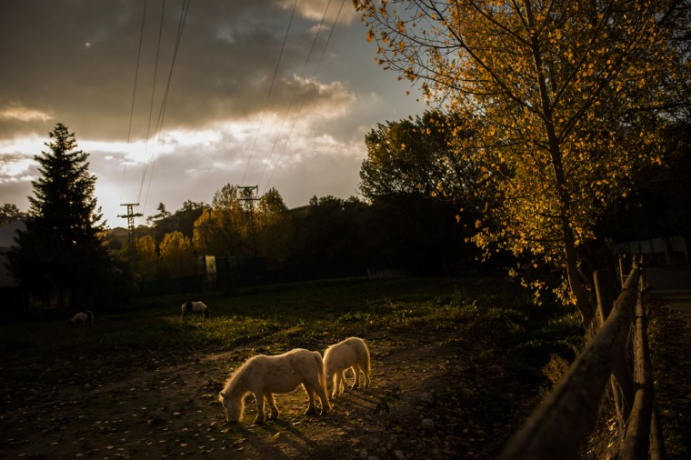 Two ponies eat on arable land as the sun sets on an autumn afternoon, in La Magdalena, near to Pamplona, northern Spain, Thursday, Oct. 15, 2015. (AP Photo/Alvaro Barrientos)