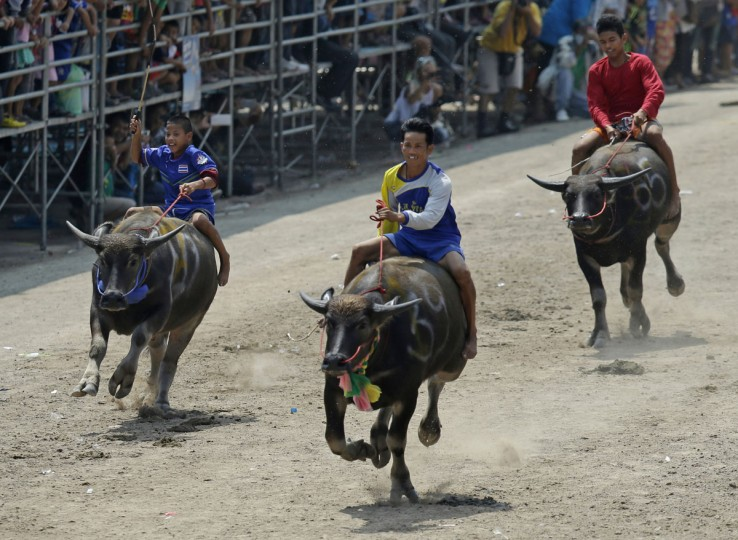 Jockeys compete during the annual water buffalo race in Chonburi Province, south of Bangkok, Thailand, Monday, Oct. 26, 2015. The annual race is a celebration among rice farmers before harvest. (AP Photo/Sakchai Lalit)