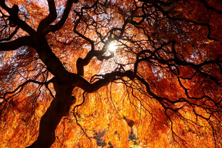 Sun shines through a Japanese Maple tree at Charles Baber Cemetery in Pottsville, Pa., on Wednesday, Nov. 4, 2015. The cemetery is the largest green space and also serves as a garden park with tree-lined walking paths, a small spring fed pond and a meditation area. (Jacqueline Dormer/The Republican-Herald via AP)