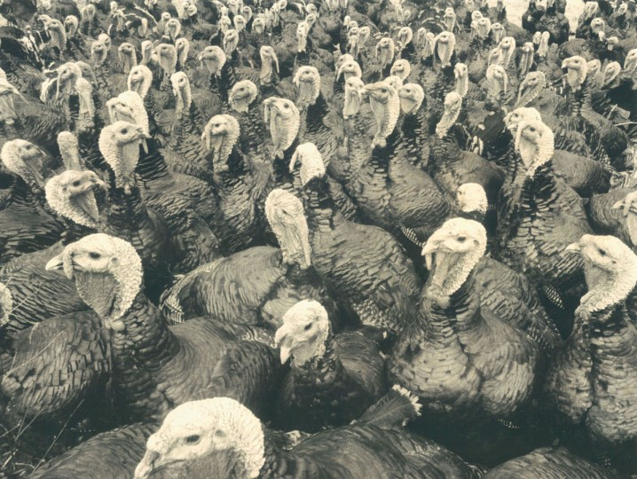 What these denizens of local turkey farm fowl will be giving tomorrow is, more than likely, their skinny necks. They certainly don't appear overjoyed at their excellent prospects of gracing someone's Thanksgiving table. (Joseph A. DiPaola/Baltimore Sun, 1973)