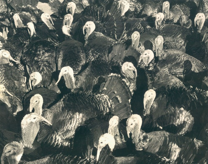 Gobblers destined for Thanksgiving Day tables exchange farewells. The University of Maryland Extension Service says turkey is plentiful and reasonable. (Robert Kniesche/Baltimore Sun, 1962)
