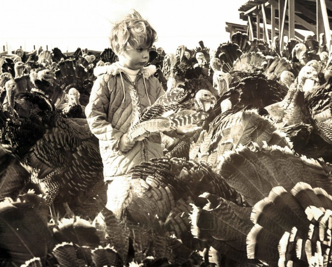 Bunny Sanner, 5, of Glencoe, is surrounded by Thanksgiving dinners on the hoof during her visit to a turkey farm in Sparks operated by M. E. Schrufer. (Joseph DiPaola, Jr/Baltimore Sun, 1964)