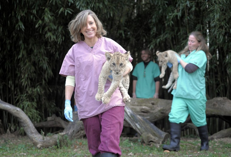 December 04, 2013 - Maryland Zoo's Carey Ricciardone with Leia (left) and Erin Cantwell with Luke (right) carry the 2-month-old lions back to their den after exploring the lion exhibit yard. (Photo by Jeffrey F. Bill)