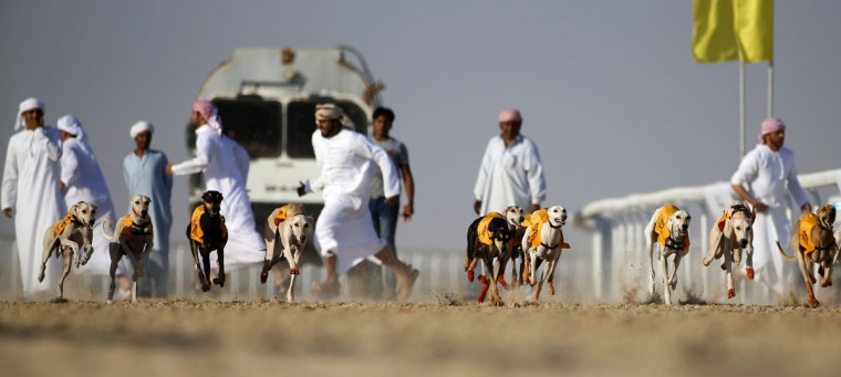 Emirati men release their Arabian Saluki dogs during the Mazayin Dhafra Camel Festival in the desert near the city of Madinat Zayed, 150 kms west of Abu Dhabi, on December 19, 2015. (KARIM SAHIB/AFP/Getty Images)
