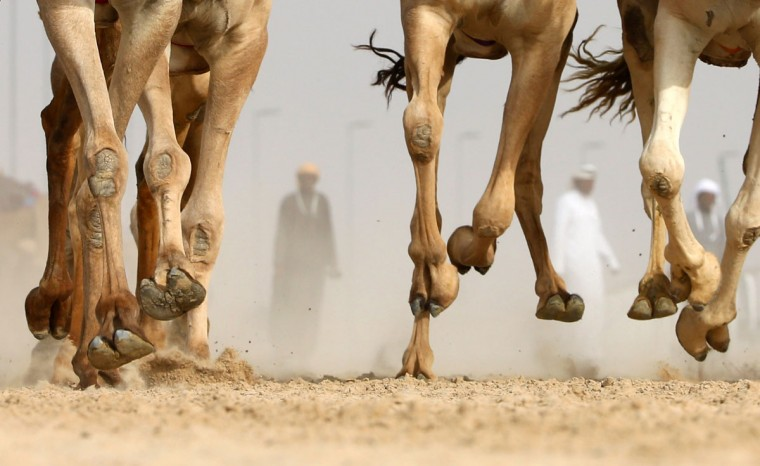 Emiratis are seen behind the feet of camels competing in a race during the Mazayin Dhafra Camel Festival in the desert near the city of Madinat Zayed, 150 kms west of Abu Dhabi, on December 25, 2015. (KARIM SAHIB/AFP/Getty Images)