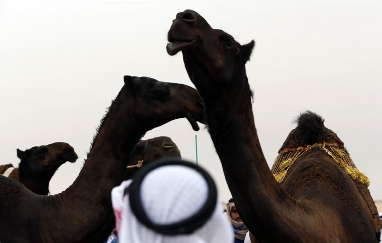 An Emirati man looks at camels during the Mazayin Dhafra Camel Festival in the desert near the city of Madinat Zayed, 150 kms west of Abu Dhabi, on December 26, 2015. (KARIM SAHIB/AFP/Getty Images)
