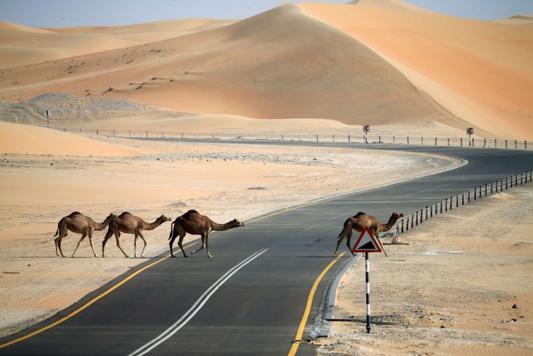 Camels cross a road during the Mazayin Dhafra Camel Festival in the desert near the city of Madinat Zayed, 150 kms west of Abu Dhabi, on December 26, 2015. (KARIM SAHIB/AFP/Getty Images)