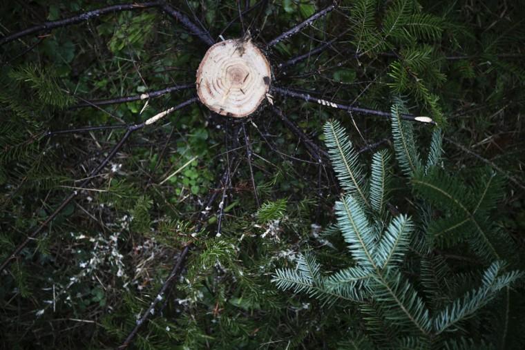 A stump is left from a freshly cut Christmas tree at the John T Nieman Nursery, Saturday, Nov. 28, 2015, in Hamilton, Ohio. (AP Photo/John Minchillo)