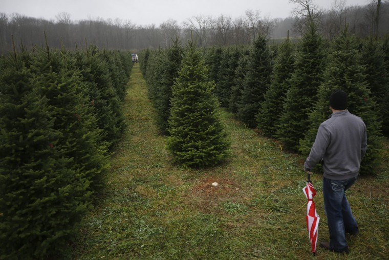 Tommy Lawson looks out into rows of Christmas trees as his family browses for their tree at the John T Nieman Nursery, Saturday, Nov. 28, 2015, in Hamilton, Ohio. (AP Photo/John Minchillo)