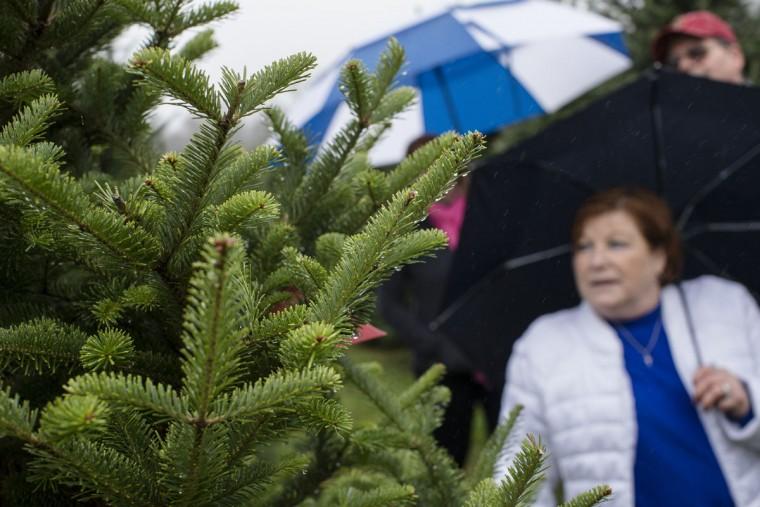 Jackie Taylor browses Christmas trees at the John T Nieman Nursery, Saturday, Nov. 28, 2015, in Hamilton, Ohio. (AP Photo/John Minchillo)