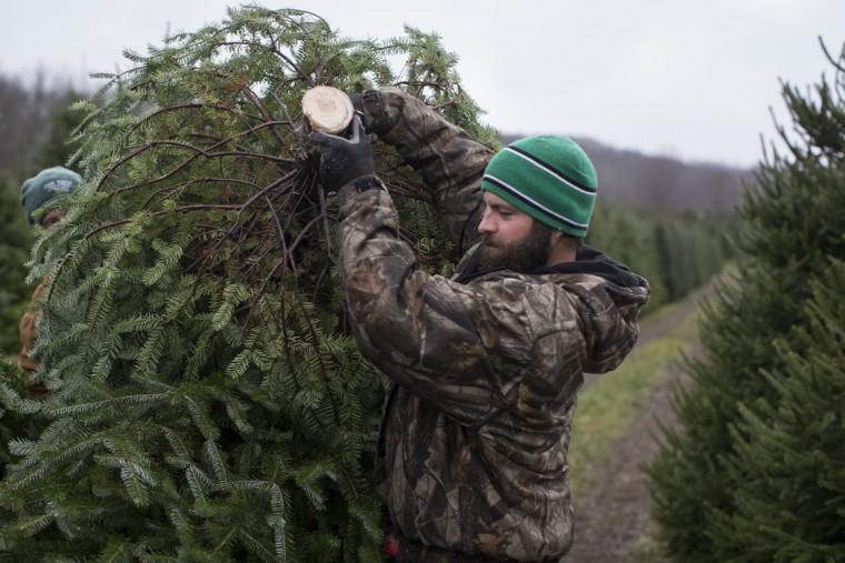 Arborist Tim Nieman carries a freshly cut Christmas tree to a flatbed for transport at the John T Nieman Nursery, Saturday, Nov. 28, 2015, in Hamilton, Ohio. (AP Photo/John Minchillo)