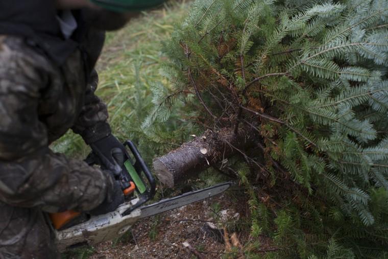 Arborist Tim Nieman cuts down a Christmas tree at the John T Nieman Nursery, Saturday, Nov. 28, 2015, in Hamilton, Ohio. (AP Photo/John Minchillo)