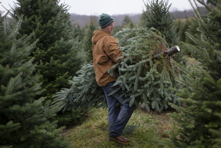 Seasonal worker Chris Arnold carries a Christmas tree to a flatbed on his second day of work at the John T Nieman Nursery, Saturday, Nov. 28, 2015, in Hamilton, Ohio. (AP Photo/John Minchillo)