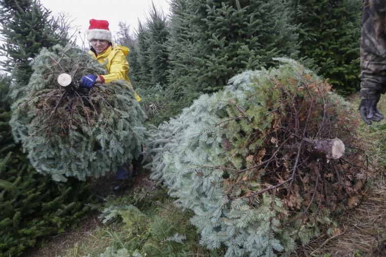Seasonal worker Michael Biltro carries a freshly cut Christmas Tree for transport at the John T Nieman Nursery, Saturday, Nov. 28, 2015, in Hamilton, Ohio. (AP Photo/John Minchillo)