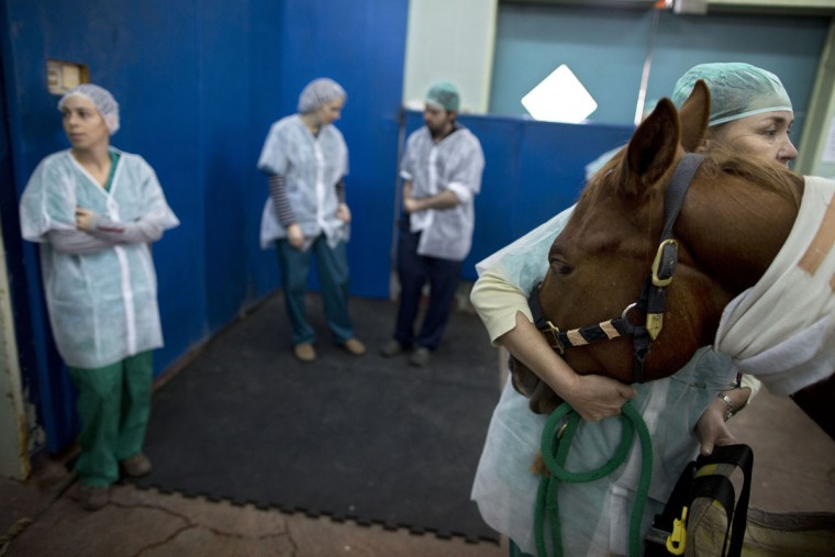 A veterinarian holds a horse as he is anesthetized before a surgery at the University's Koret School of Veterinary Medicine in Rishon Lezion, Israel. To prepare a horse for surgery, anesthesiologists slip an infusion into the animalís jugular vein, which is harder to dislodge than an IV in the leg. (AP Photo/Oded Balilty)