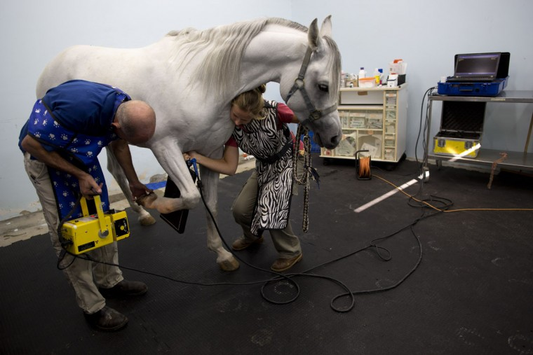 Dr. Gal Kelmer, head of the department of large animals, left, and a veterinarian technician prepare a horse for an X-ray demonstration at the Hebrew University's Koret School of Veterinary Medicine in Rishon Lezion, Israel. The most common medical problem is colic, Kelmer said, a digestive ailment that usually requires hoisting the horse upside down to examine the abdomen. Other issues include trauma, leg fractures and breathing problems. (AP Photo/Oded Balilty)