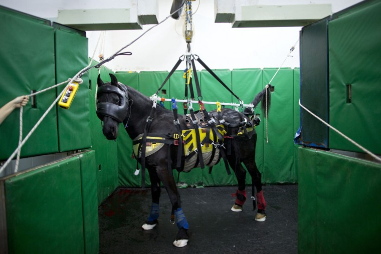 A horse is supported in a recovery room after a surgery at the Hebrew University's Koret School of Veterinary Medicine in Rishon Lezion, Israel. To restrain a flighty horse, Dr. Gal Kelmer, who heads the large animal department, straps the animal into a sling that suspends it from the belly and lifts it into the air, keeping the mouth closed and tail tied as the horse gradually regains control of its body. (AP Photo/Oded Balilty)