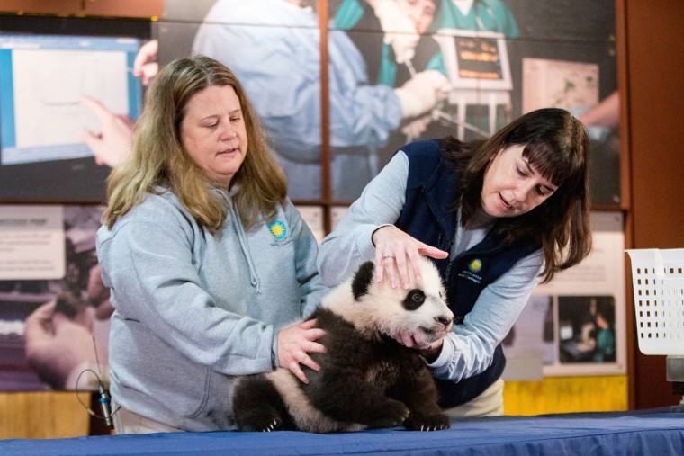Animal keeper Nicole MacCorkle, left, and biologist Laurie Thompson, right, attempt to look at the teeth of Bei Bei, the National Zoo's newest panda and offspring of Mei Xiang and Tian Tian, in front of members of the media at the National Zoo in Washington. The youngest giant panda cub at the National Zoo is ready for his close-up. Bei Bei will make his public debut on Jan. 16. During an audience with a small news media contingent Monday, he was so relaxed that he fell asleep and drooled on an examination table. At nearly 4 months old, Bei Bei weighs more than 17 pounds and is gaining about a pound a week. He's bigger than his older siblings were at the same age. (AP Photo/Andrew Harnik)
