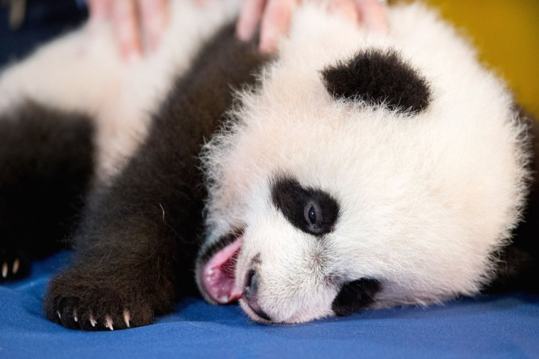 Bei Bei, the National Zoo's newest panda and offspring of Mei Xiang and Tian Tian, yawns while being presented for members of the media at the National Zoo in Washington. The youngest giant panda cub at the National Zoo is ready for his close-up. Bei Bei will make his public debut on Jan. 16. During an audience with a small news media contingent Monday, he was so relaxed that he fell asleep and drooled on an examination table. At nearly 4 months old, Bei Bei weighs more than 17 pounds and is gaining about a pound a week. He's bigger than his older siblings were at the same age. (AP Photo/Andrew Harnik)