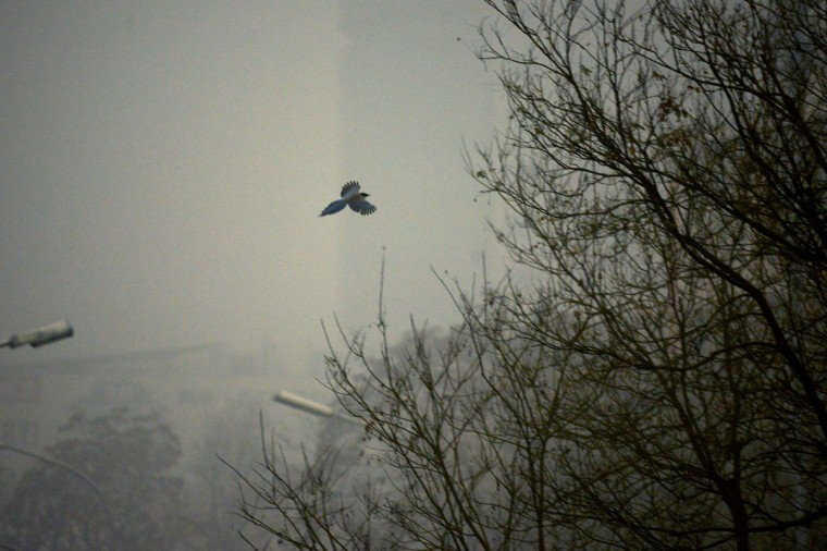 A magpie flies in heavy pollution in Beijing on December 1, 2015. (WANG ZHAO/AFP/Getty Images)