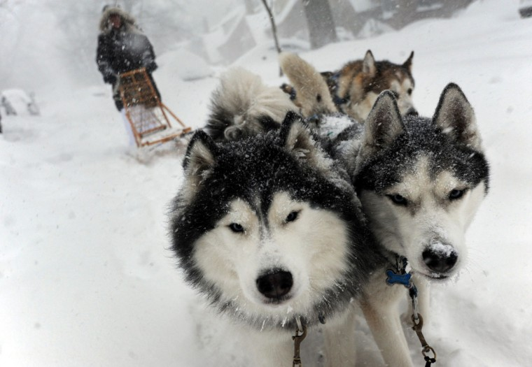 Huskies Merlin, left, and Misty May lead Babs Levedahl as they dog sled in Anneslie on the first full day of the blizzard. Running with them is Ollie, a friend's Malamut. (Algerina Perna / Baltimore Sun)