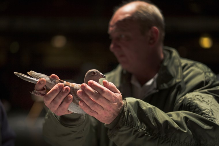 A pigeon fancier peruses over a bird in the auction during the annual three-day 'British Homing World Show of the Year' at The Winter Gardens on January 16, 2016 in Blackpool, England. Homing pigeon fanciers from across Europe gathered to find the Supreme Show Champion with judges casting their eyes over hundreds of birds on show. The Royal Pigeon Racing Association organises the event and has Queen Elizabeth II, who keeps pigeons at Sandringham, as it's patron. (Christopher Furlong/Getty Images)