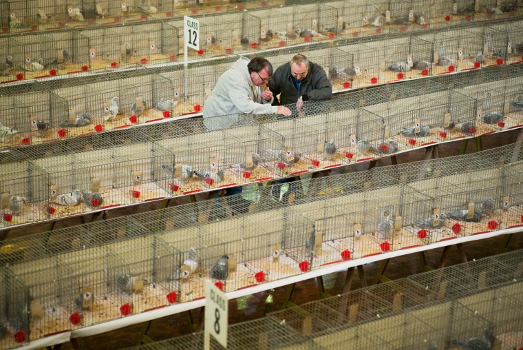 Pigeon fanciers peruse over birds on display as they gather for the annual three-day 'British Homing World Show of the Year' at The Winter Gardens on January 16, 2016 in Blackpool, England. Homing pigeon fanciers from across Europe gathered to find the Supreme Show Champion with judges casting their eyes over hundreds of birds on show. The Royal Pigeon Racing Association organises the event and has Queen Elizabeth II, who keeps pigeons at Sandringham, as it's patron. (Christopher Furlong/Getty Images)