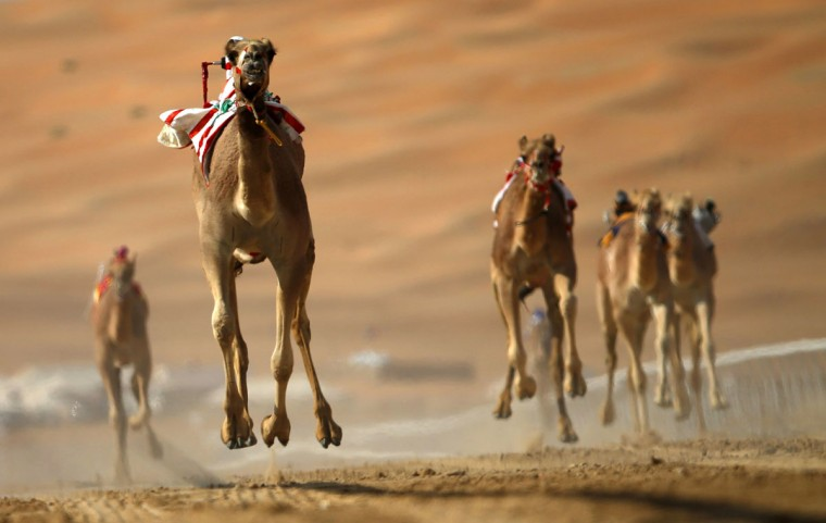 Camels compete during the Liwa 2016 Moreeb Dune Festival on January 5, 2016, in the Liwa desert, 250 kilometers west of the Gulf emirate of Abu Dhabi. (KARIM SAHIB/AFP/Getty Images)