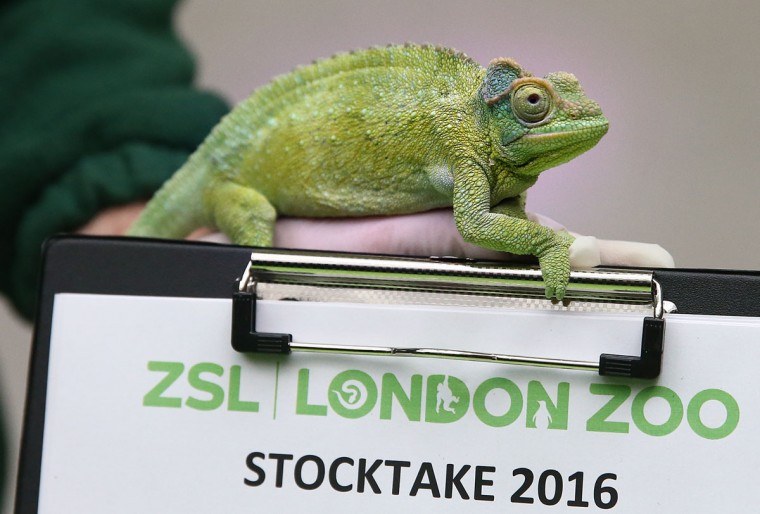 A Jackson's chameleon climbs on a clipboard as it handled by a zookeeper during the annual stocktake of animals at ZSL London Zoo on January 4, 2016 in London, England. (Photo by Carl Court/Getty Images)